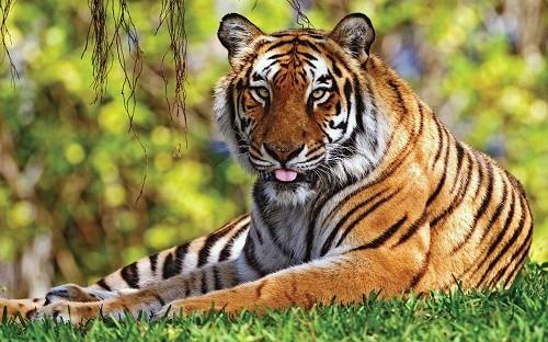 Nằm mơ thấy Hổ, Ngủ mơ thấy hổ là điềm báo gì