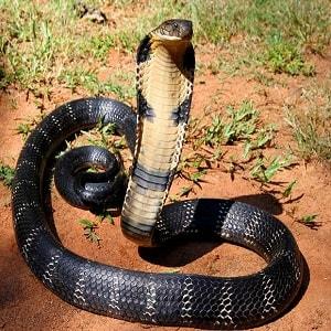 Nằm ngủ mơ thấy rắn hổ mang