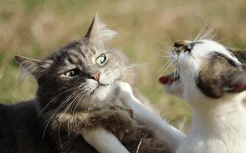 Giải Mã Giấc Mơ Thấy Hai Con Mèo Cắn Nhau