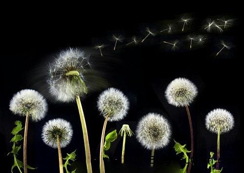 Nằm ngủ mơ thấy hoa bồ công anh & Chiêm bao mơ thấy hoa huệ là điềm gì
